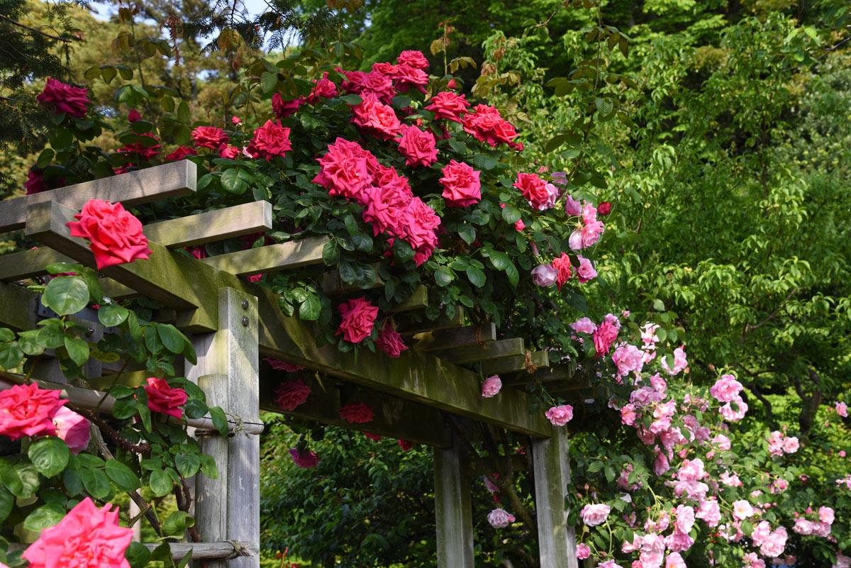 Pergolato in legno decorato con le rose.