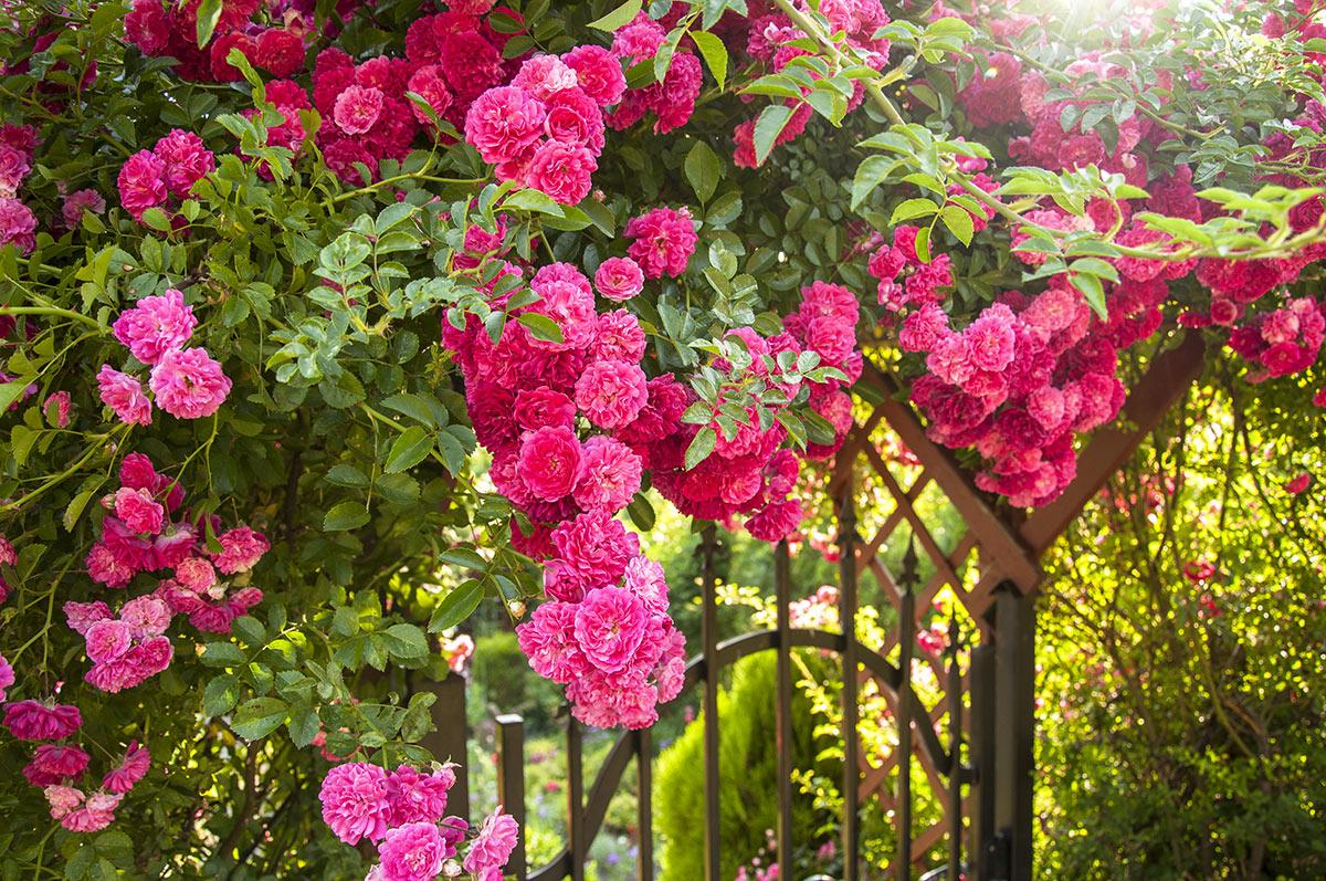 Porticato in ferro con rose rampicanti.