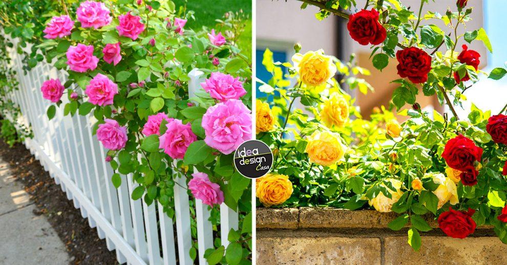 Decorare il giardino con le rose.