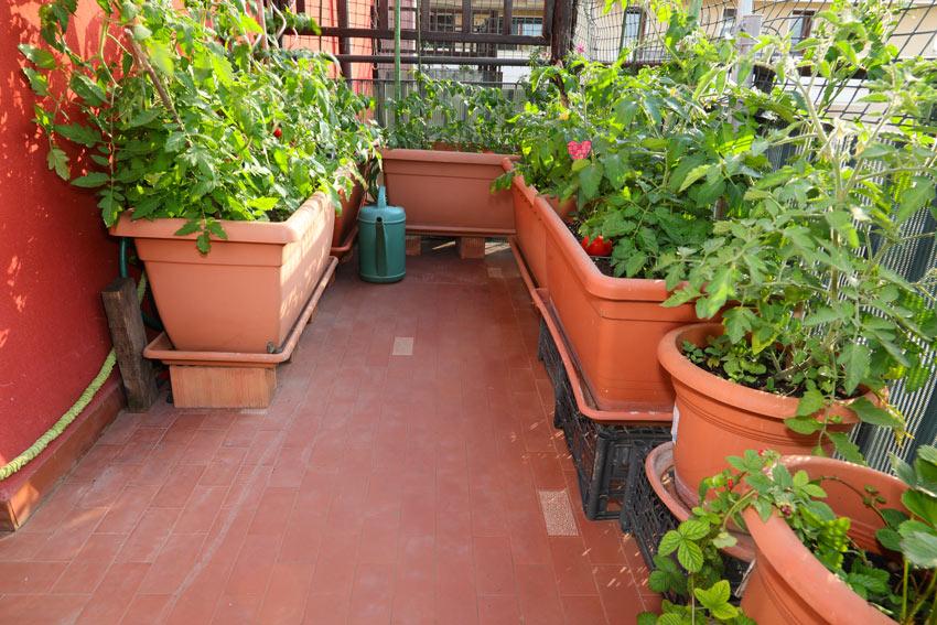 Orto sul balcone con pomodori in vaso.