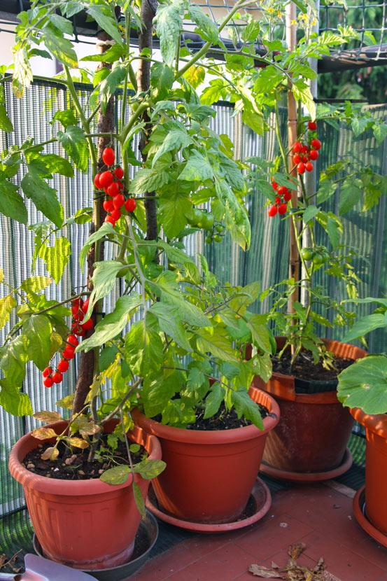Pomodorini in vaso sul terrazzo.