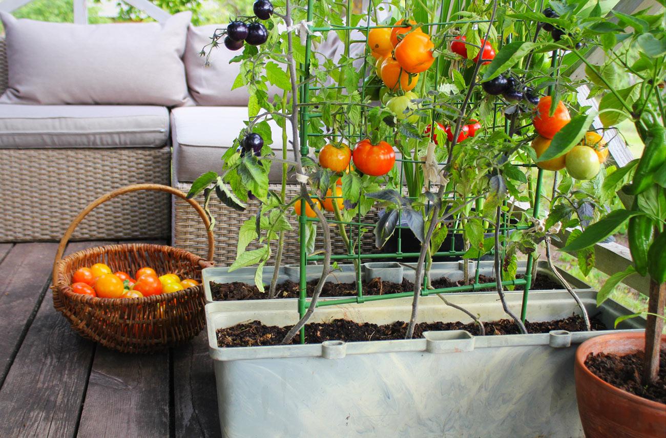 Orto sul balcone con pomodori e piante aromatiche.