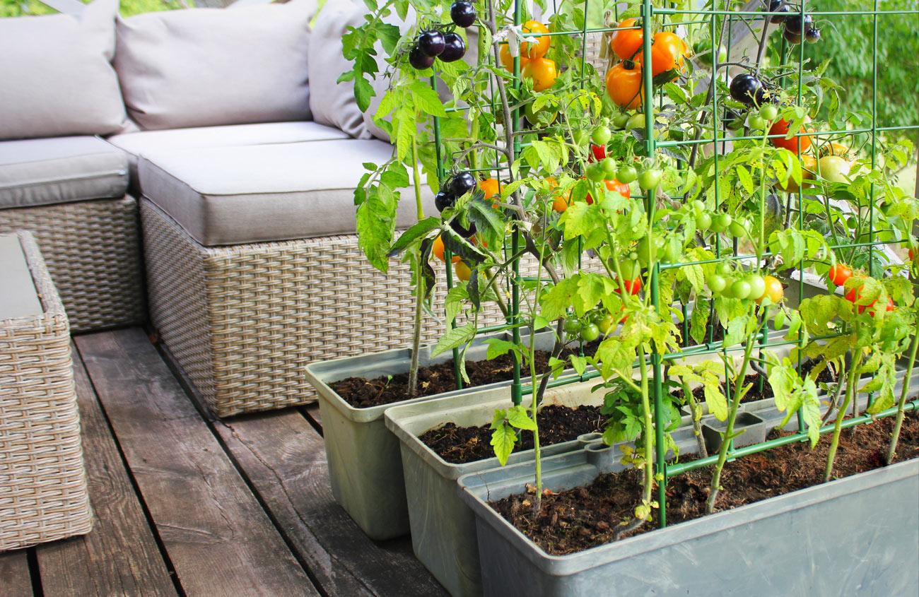 Orto con pomodorini sul balcone di casa.