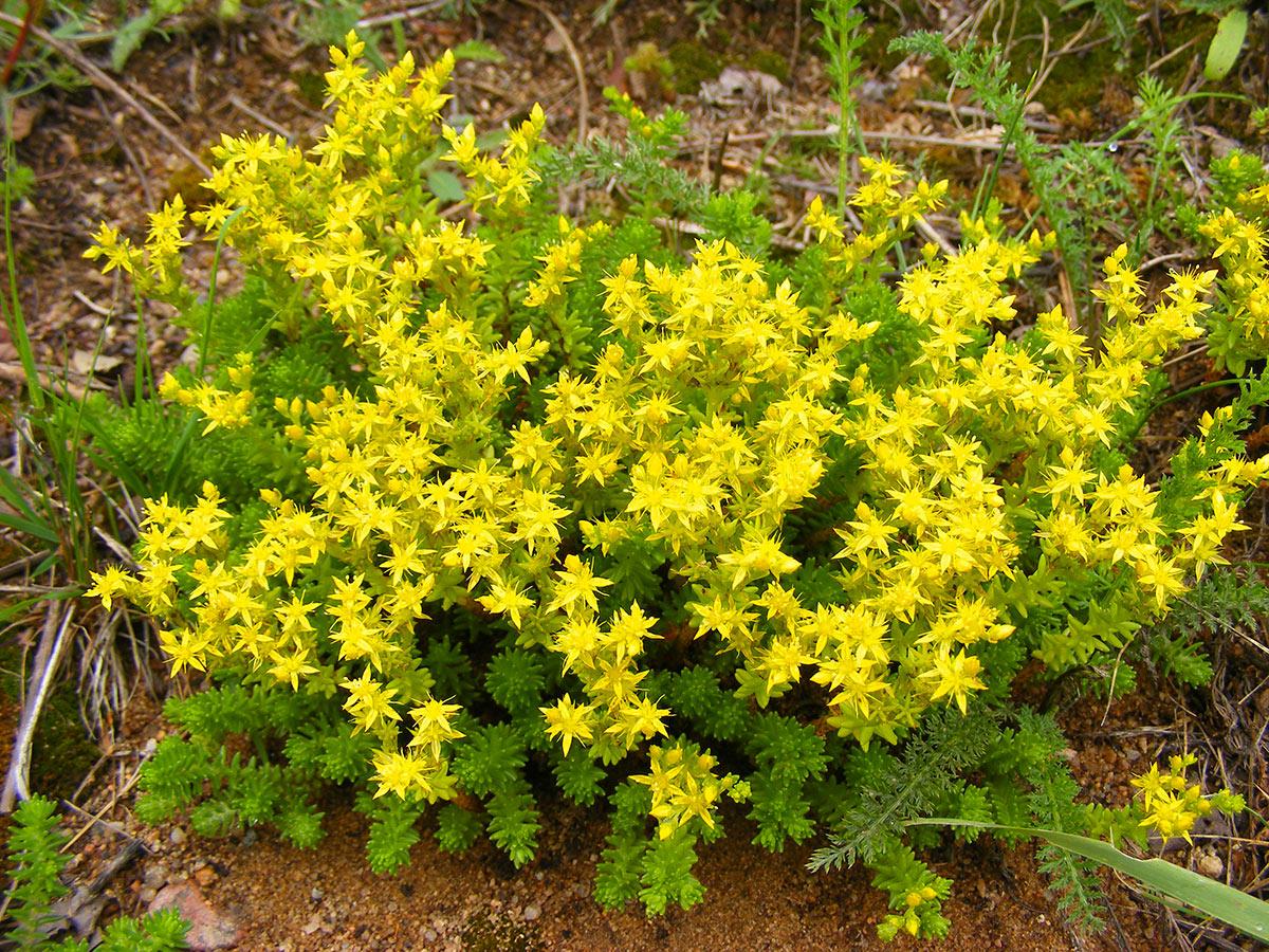 Sedum Acre, pianta grassa fiorita.