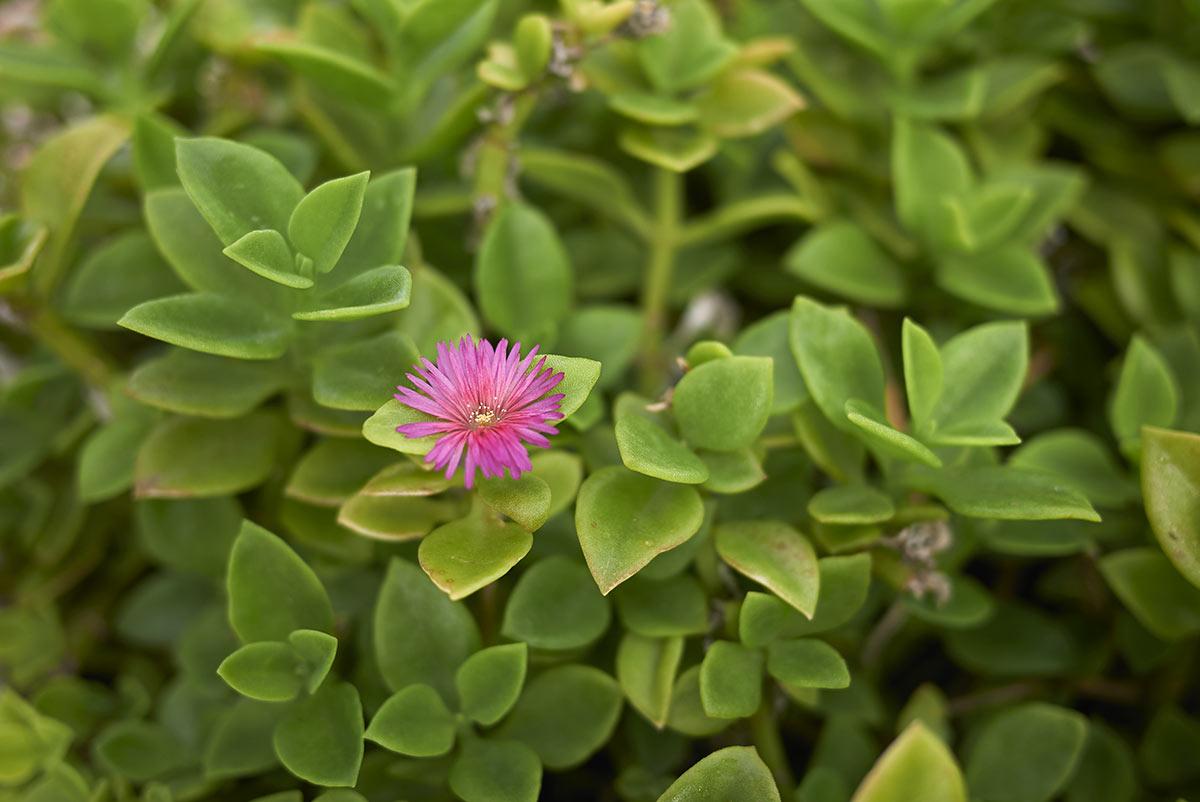 Aptenia con fiorellino rosa.