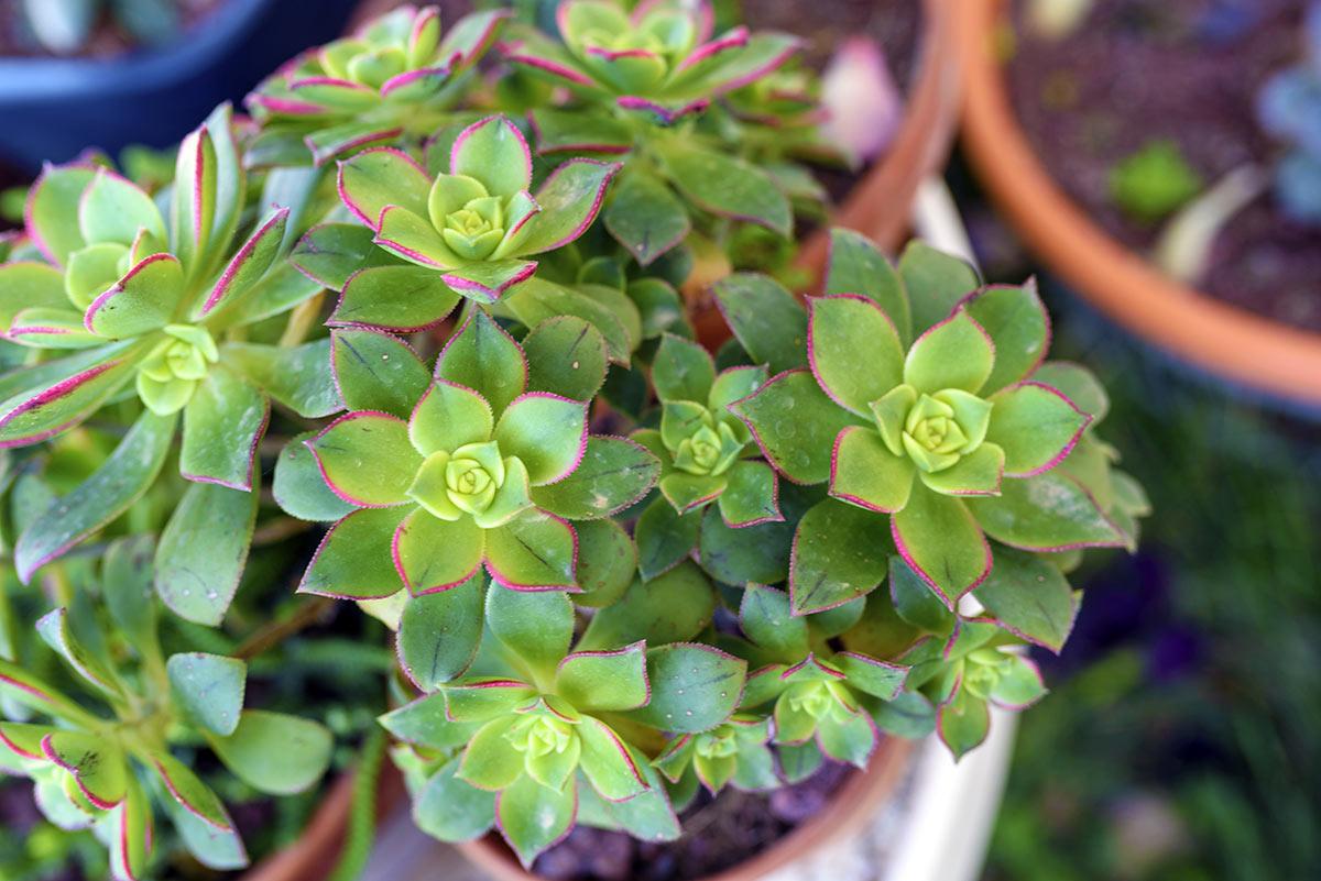 Aeonium, pianta grassa.