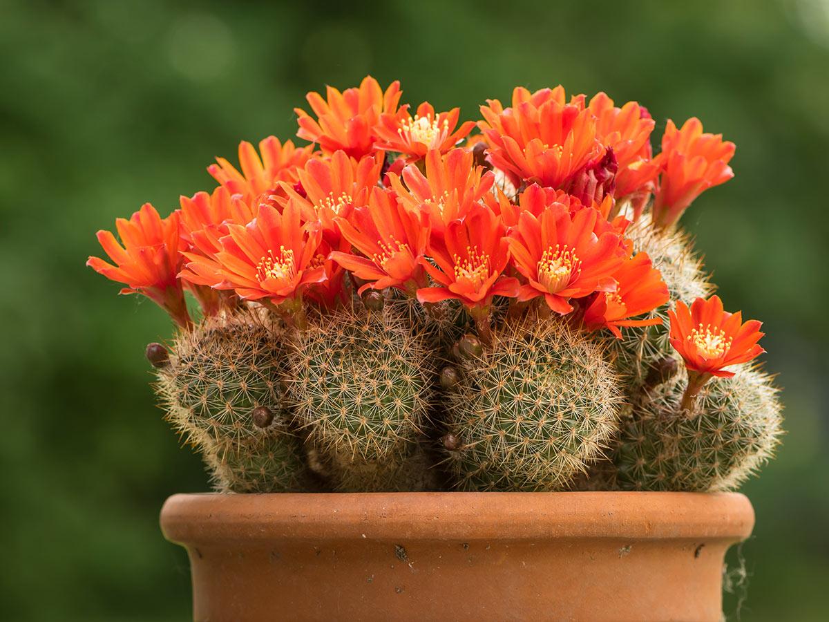 Rebutia, piante grasse con fiori.