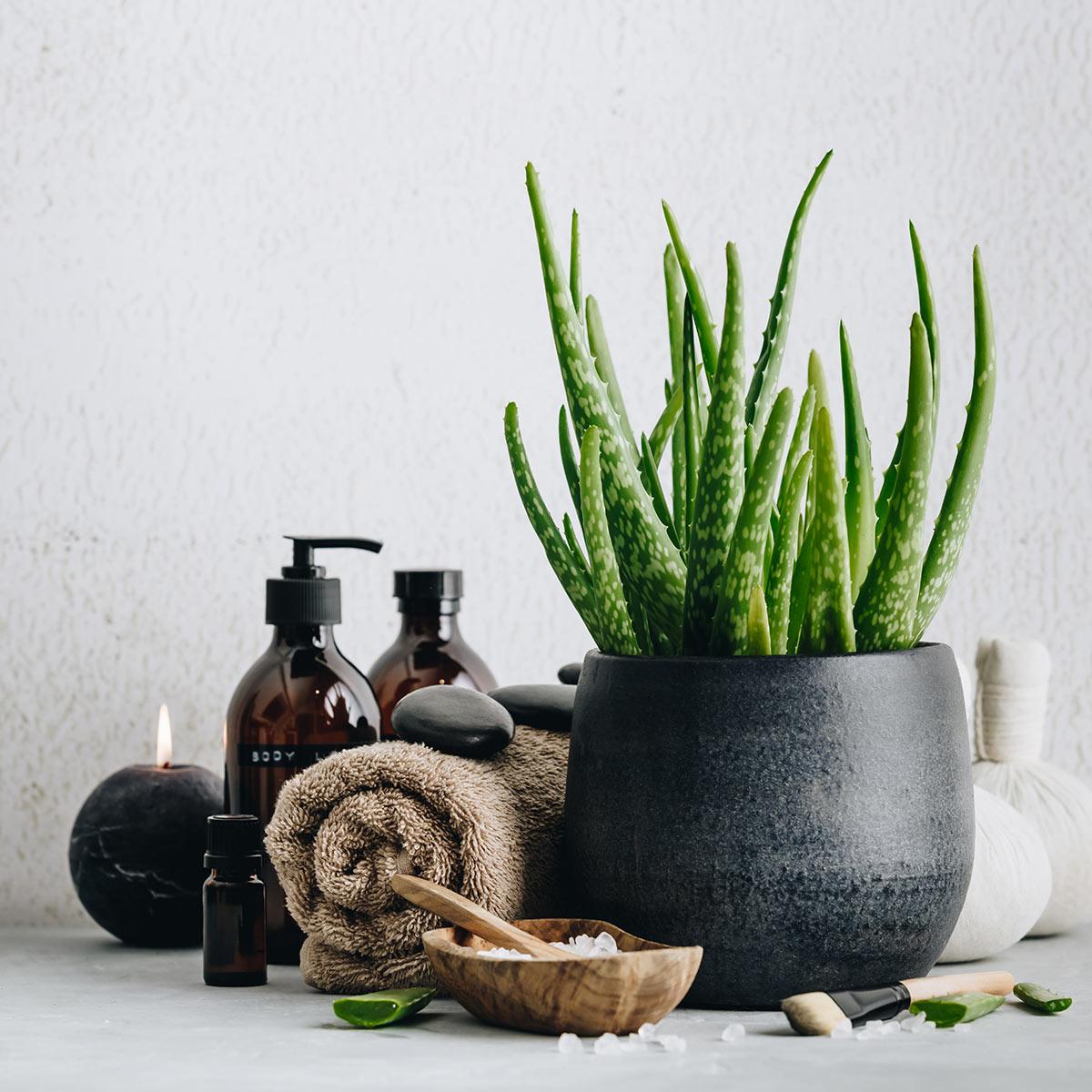 Aloe vera, pianta grassa in vaso.