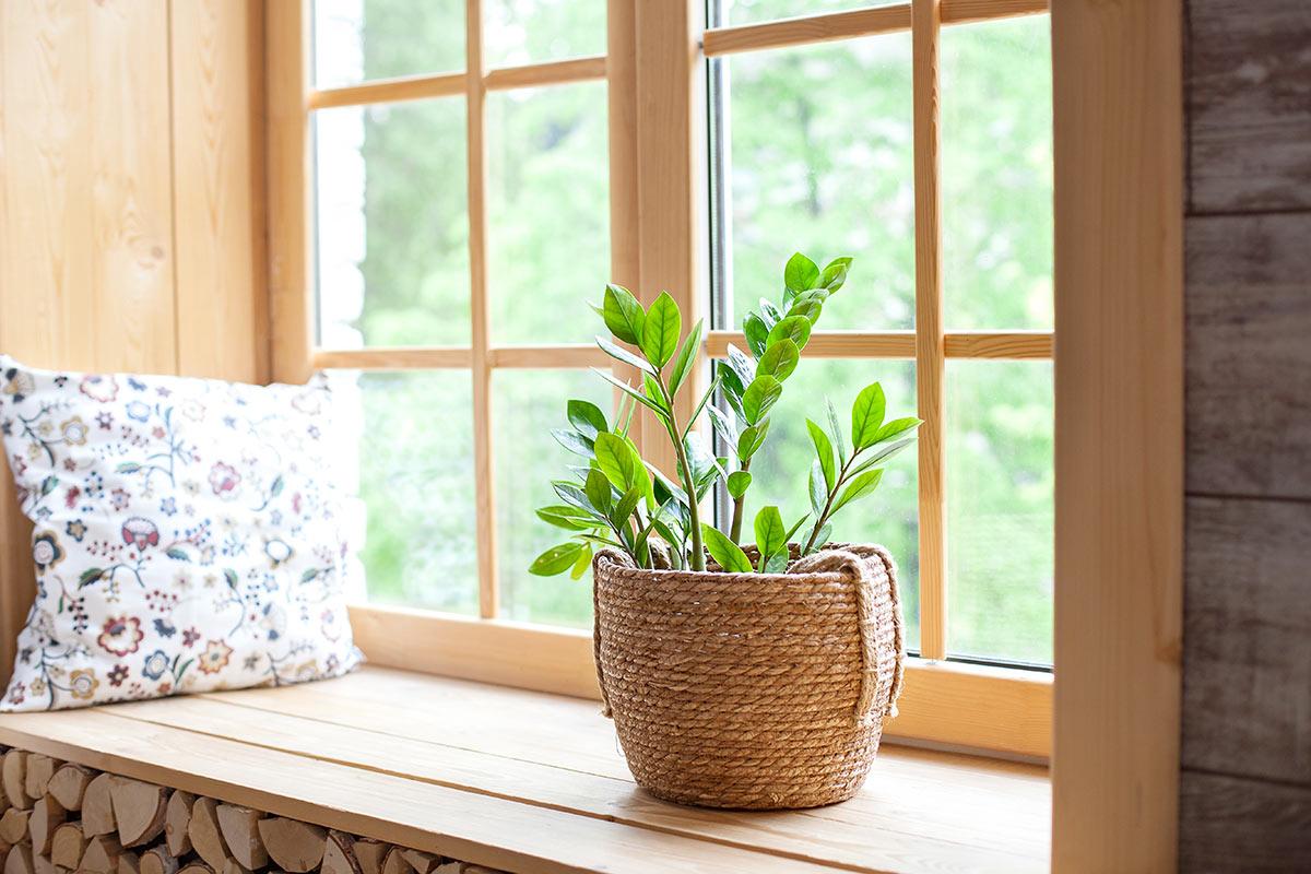 Zamioculcas in vaso, pianta succulenta semi grassa sul bordo di una finestra.