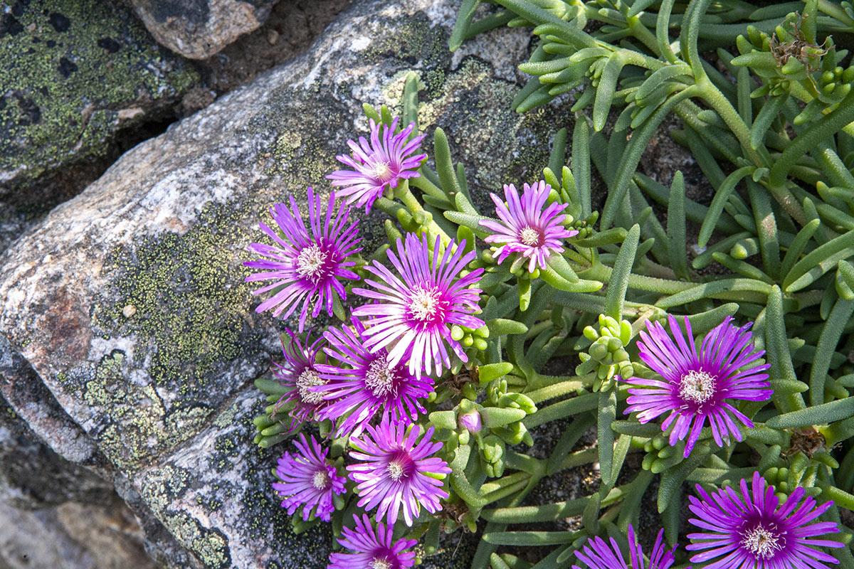 Piante grasse Delosperma con fiorellini viola.