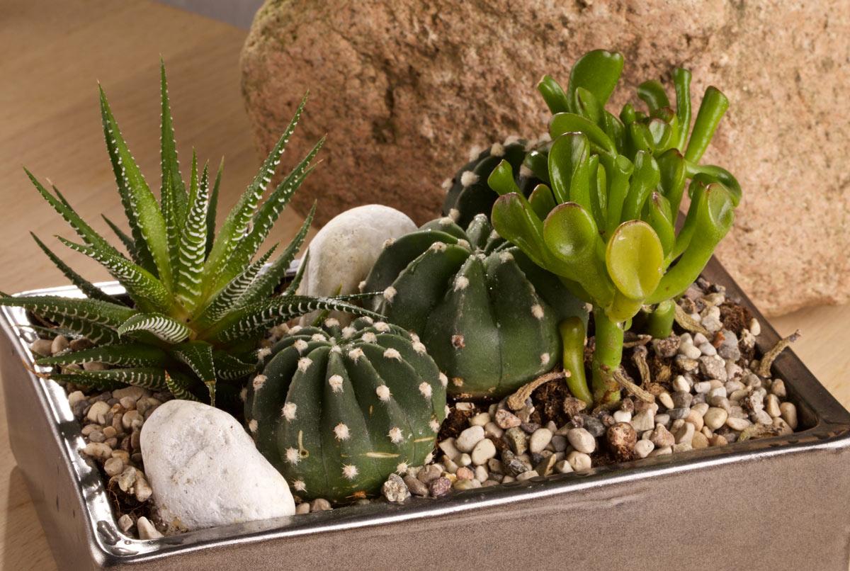 Piccola composizione di piante grasse in vaso.