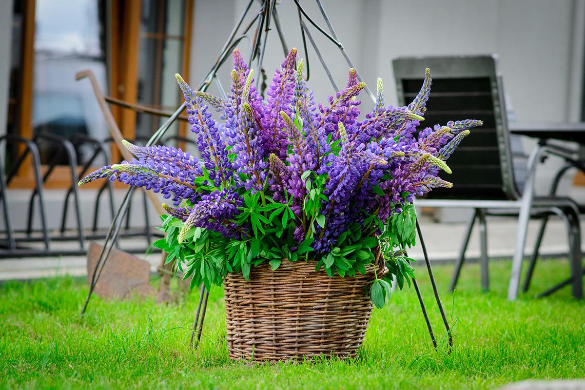 Cesto in vimini in giardino con fiori viola.