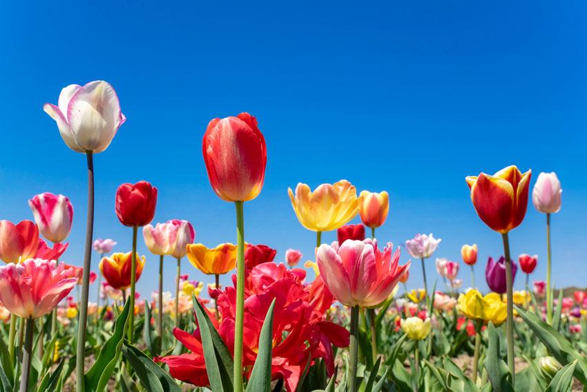 tulipani, fiori ideale in autunno.
