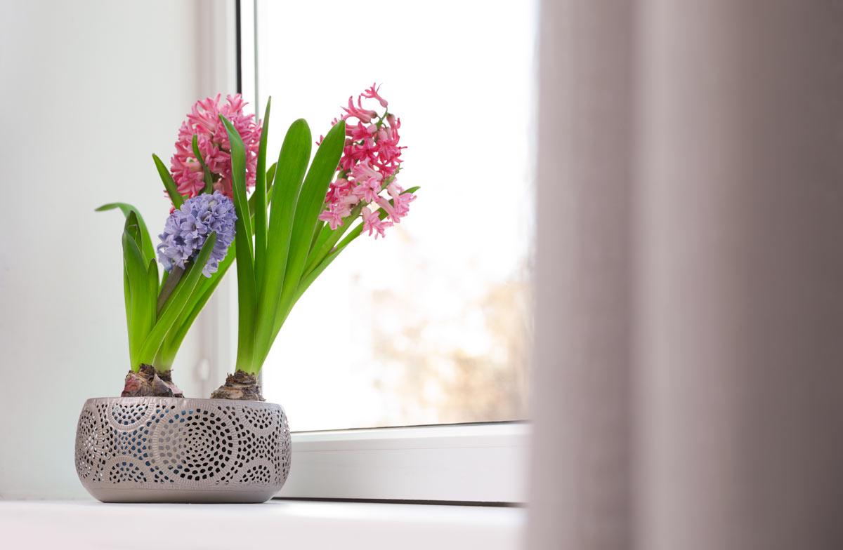 Giacinto in un bellissimo vaso poggiato sotto la finestra.