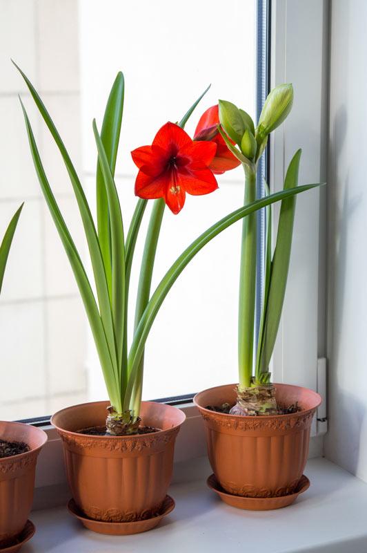 Amaryllis Ippeastro in vaso.