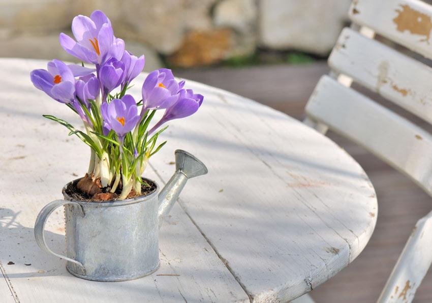Fiori crocus in un vaso vintage.