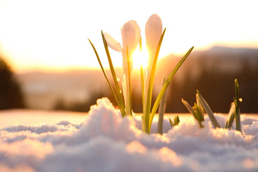 Bucaneneve fuoriesce dalla neve, un fiore ideale per l'autunno.