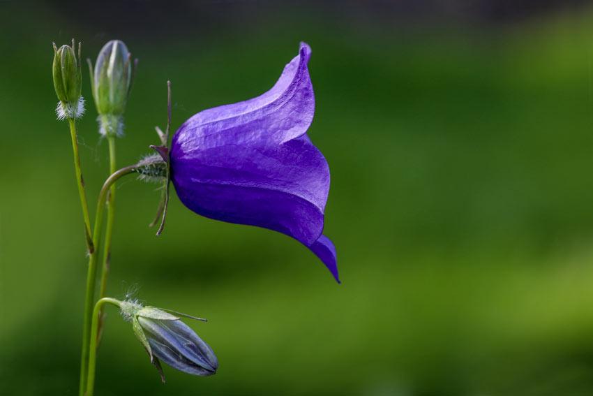 Campanule, un bel fiore autunnale.