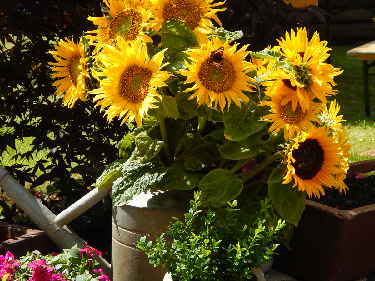 Pianta di girasole in vaso
