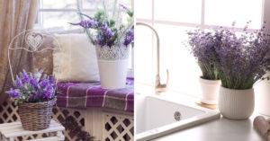 Pianta di lavanda in vaso