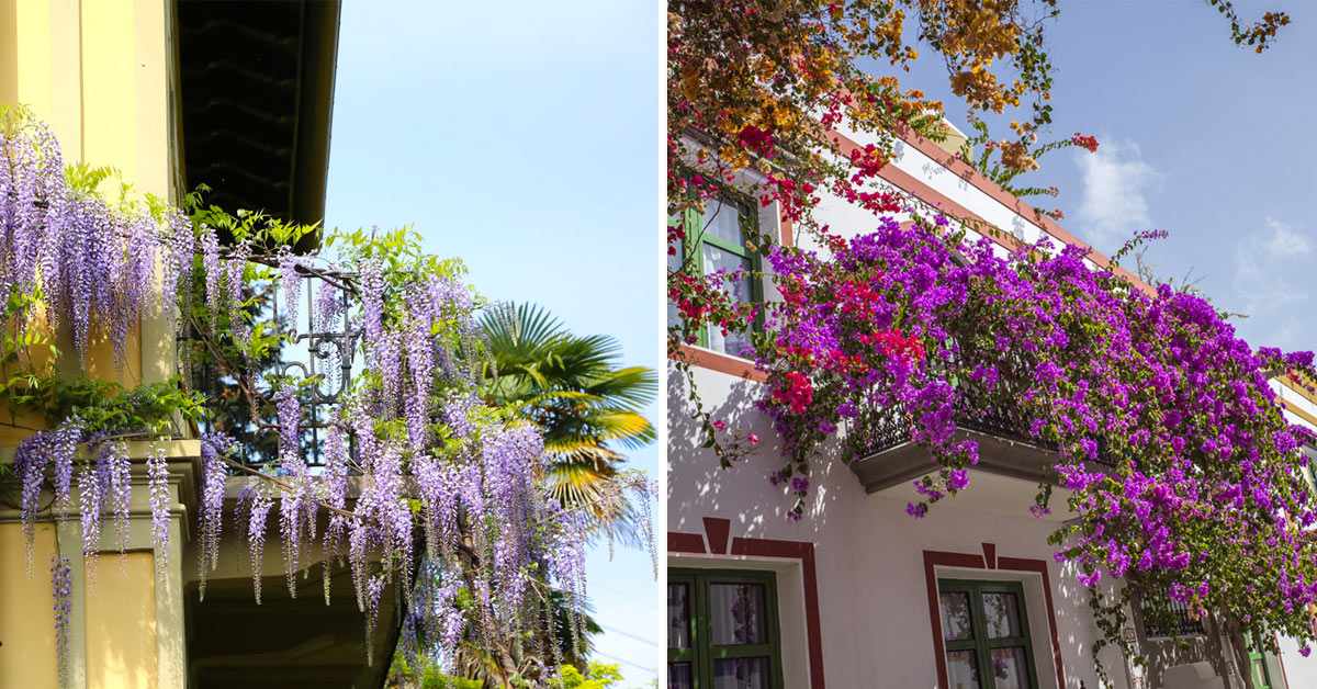 Balcone con piante rampicanti.