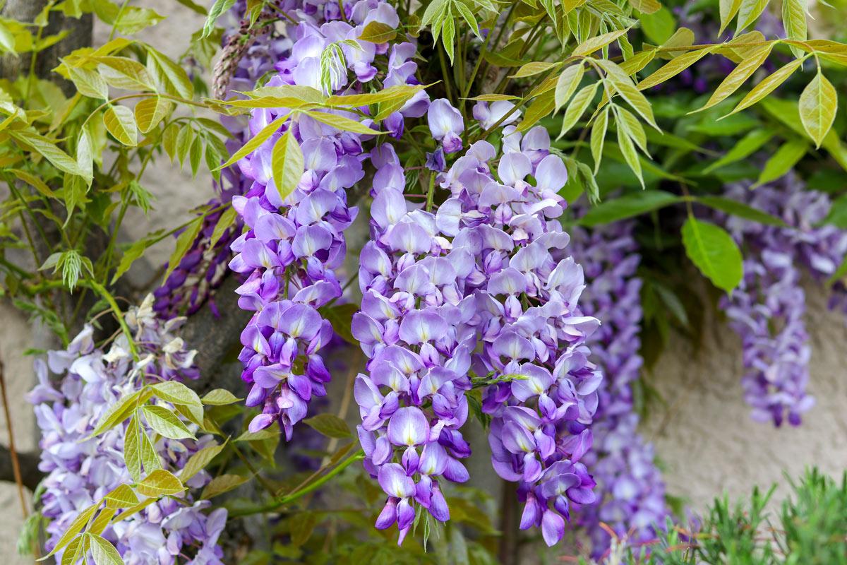 Il glicine, una pianta rampicante con fiori viola.