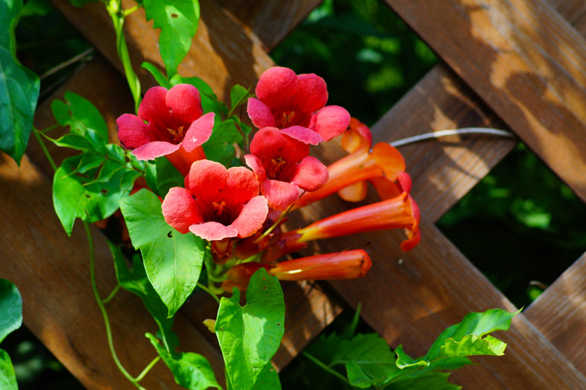 pianta rampicante con fiori rossi, la Bignonia