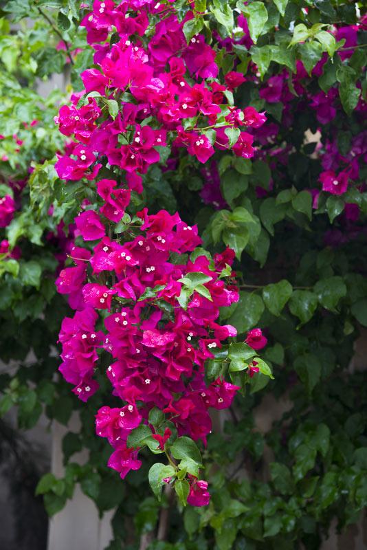 piante rampicanti con fiori fucsia