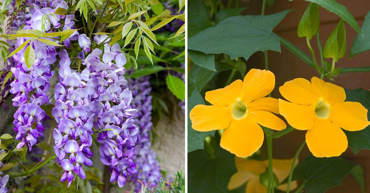 Piante rampicanti con fiori.