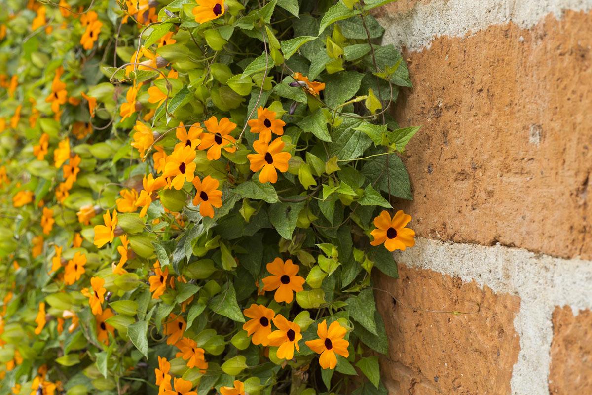 Thunbergia pianta rampicante.