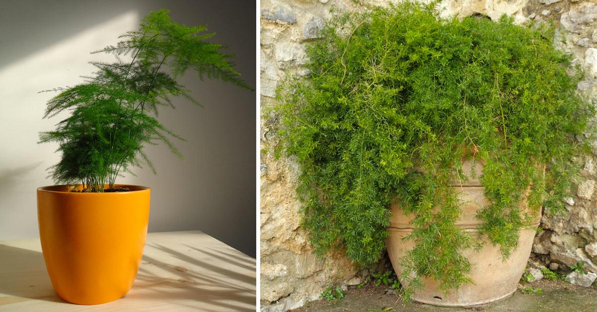 Asparagina pianta.