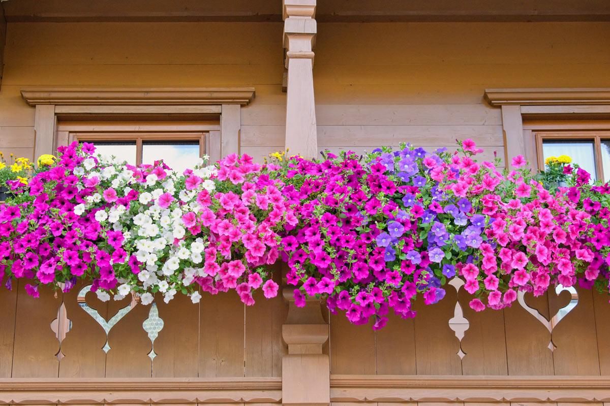 Fiori a cascata perfetti per decorare il balcone.