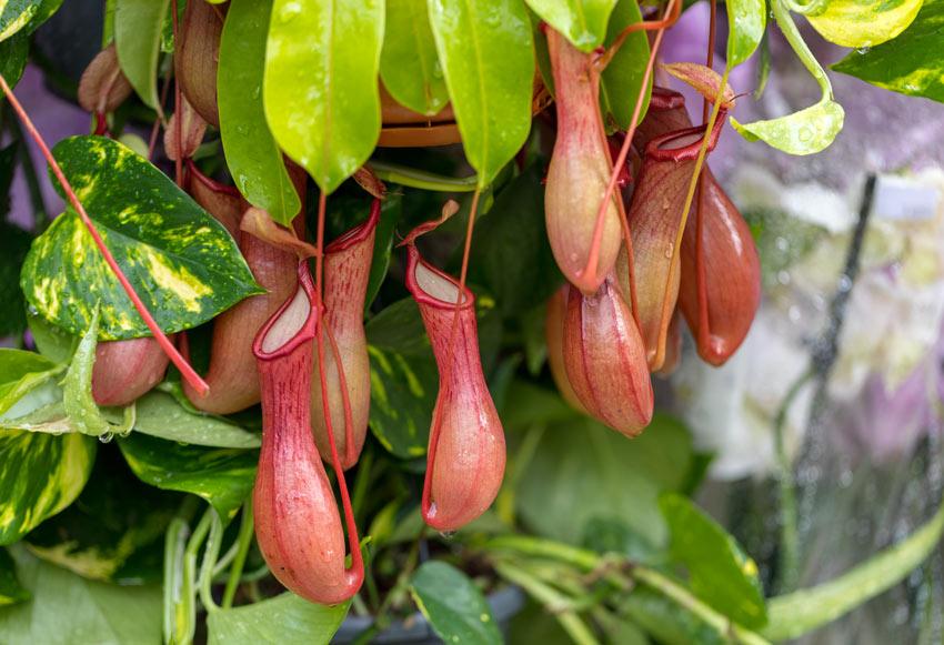 Nepenthes pianta carnivora