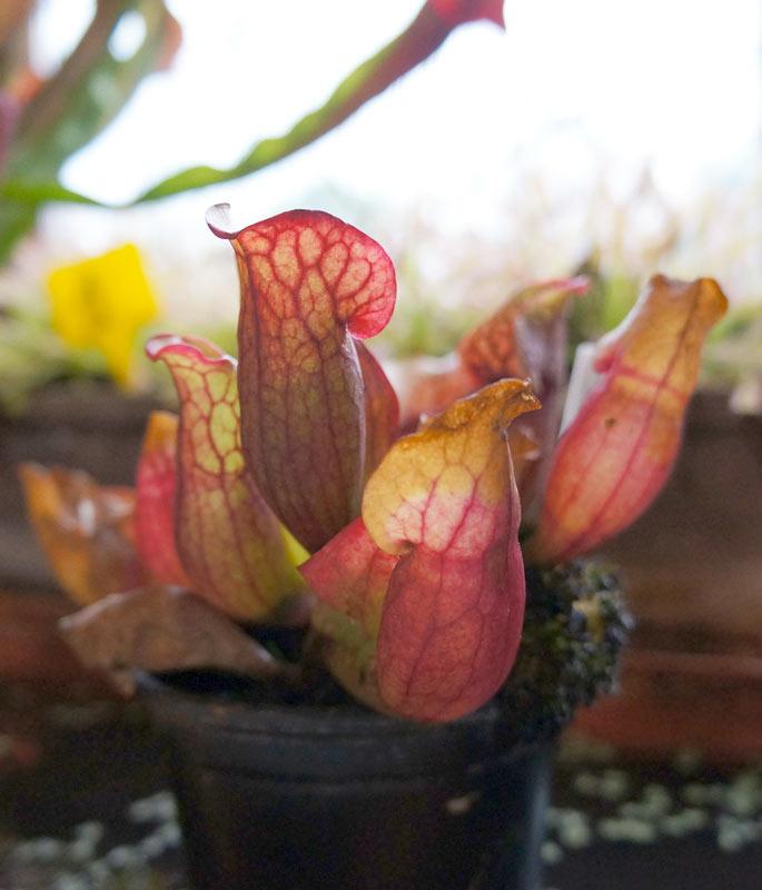 Sarracenia Purpurea pianta carnivora.