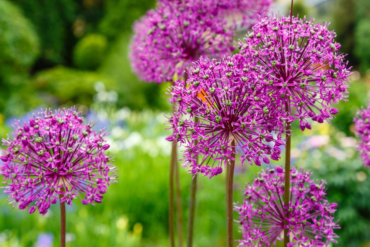 Aglio gigante (Allium giganteum)