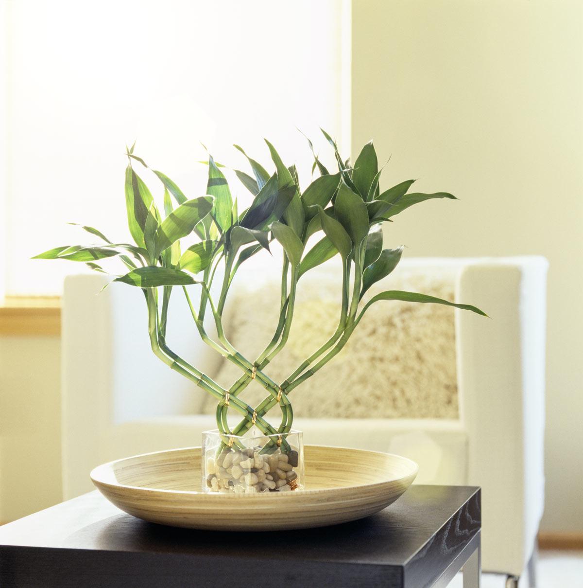 piante portafortuna lucky bamboo