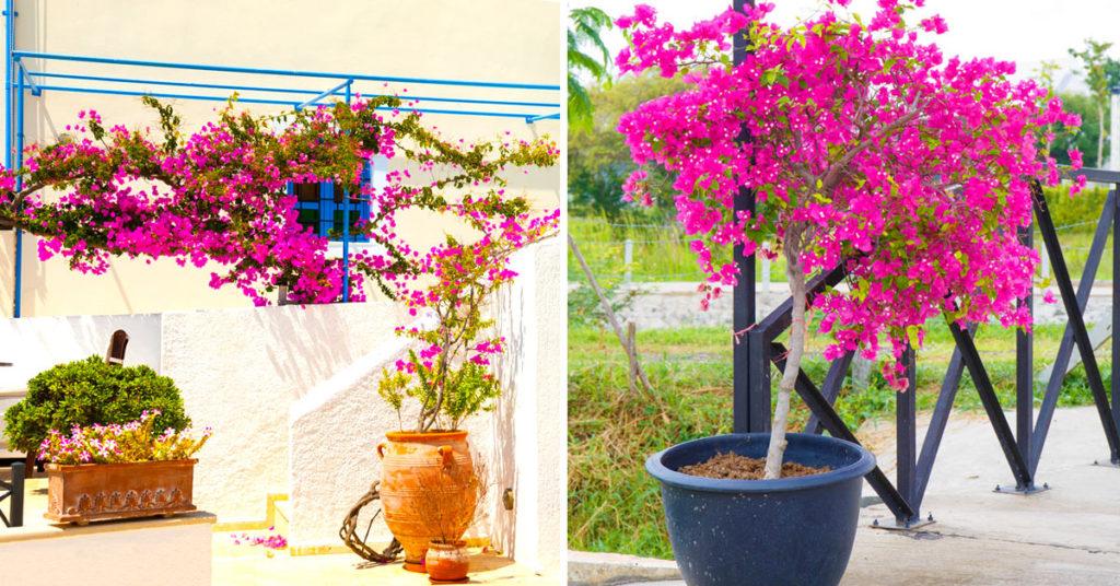 Bouganville in vaso, cura, esposizione, potatura, foto