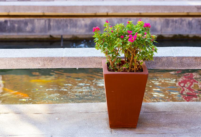 Irrigazione della bouganville in vaso