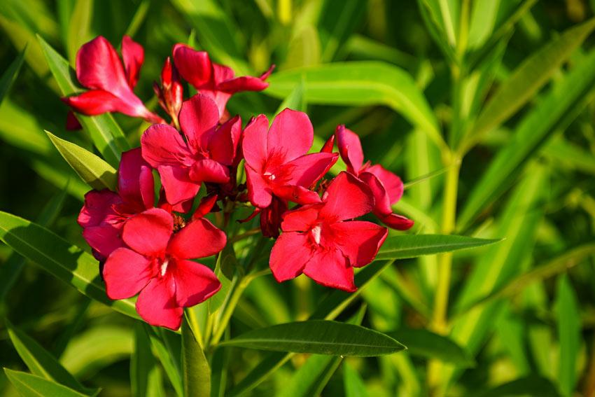 Fiori rossi di oleandro.