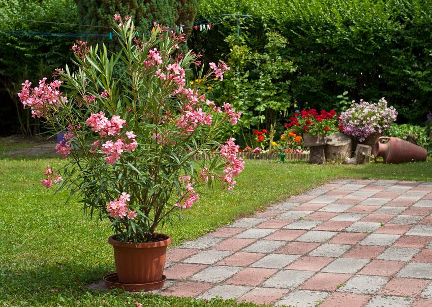 Arbusto di oleandro in vaso piccolo.