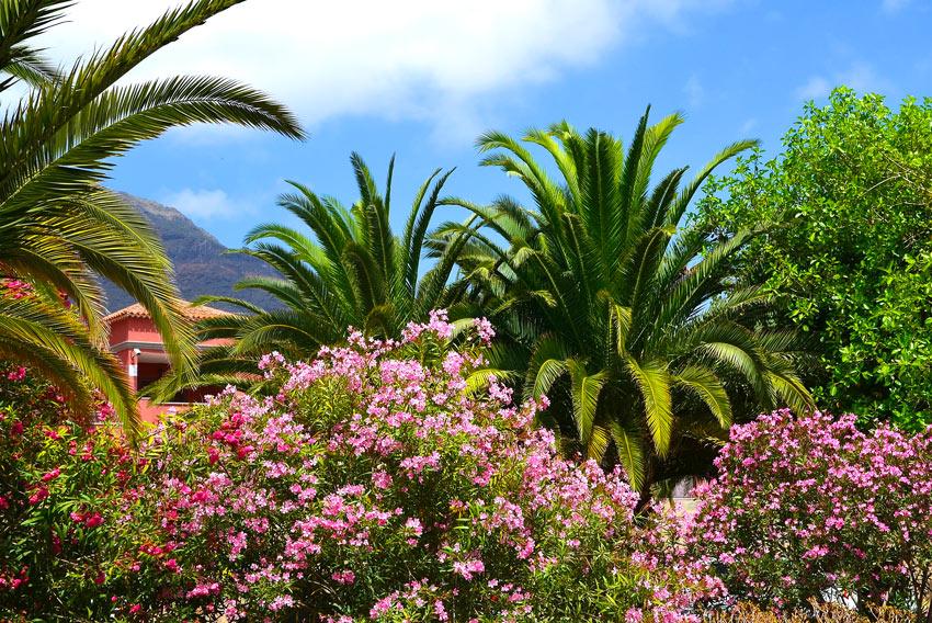 Oleandri in giardino.