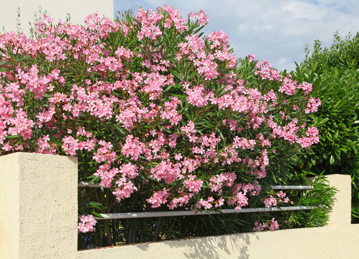 Siepe con oleandri rosa.