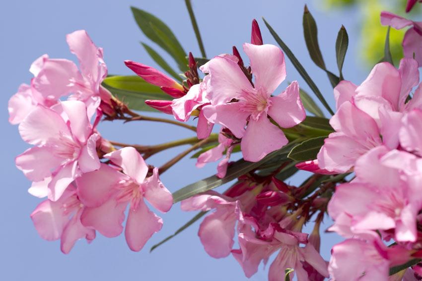 Fiori rosa di oleandro.