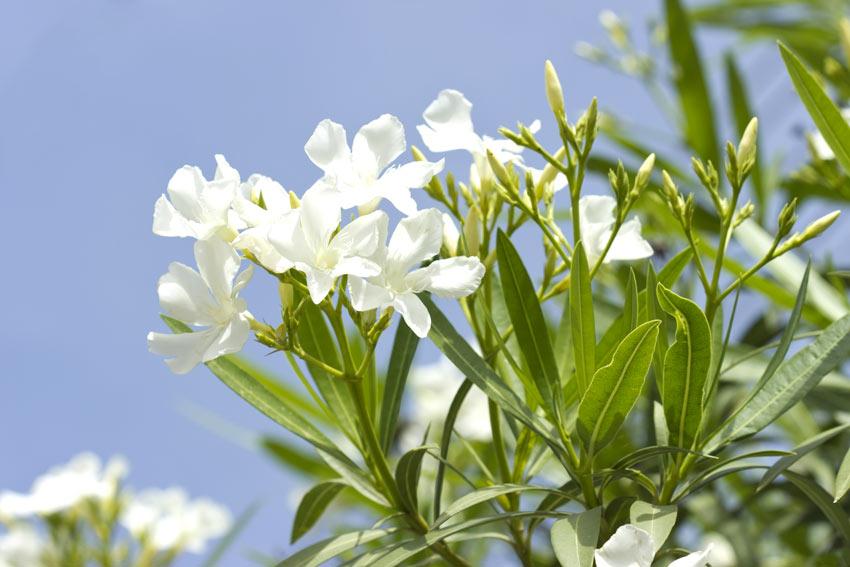 Fiori bianchi di oleandro.