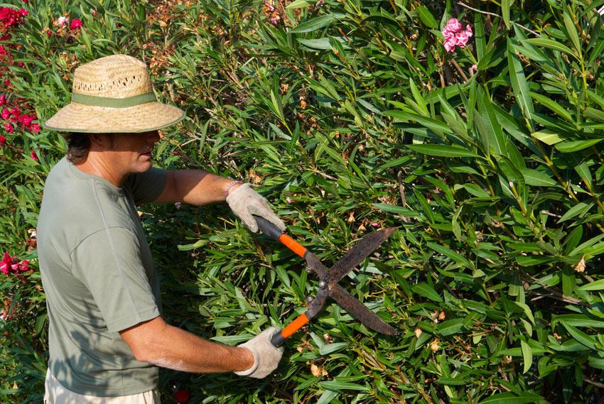 Potatura pianta di oleandro.