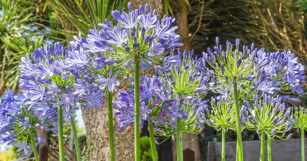 Agapanthus, pianta dai fiori azzurri o blu.