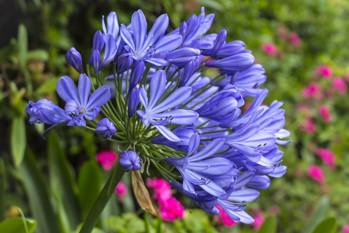 Questa pianta, l'Agapanthus dai fiori azzurri o blu è uno splendore in giardino ma anche in vaso