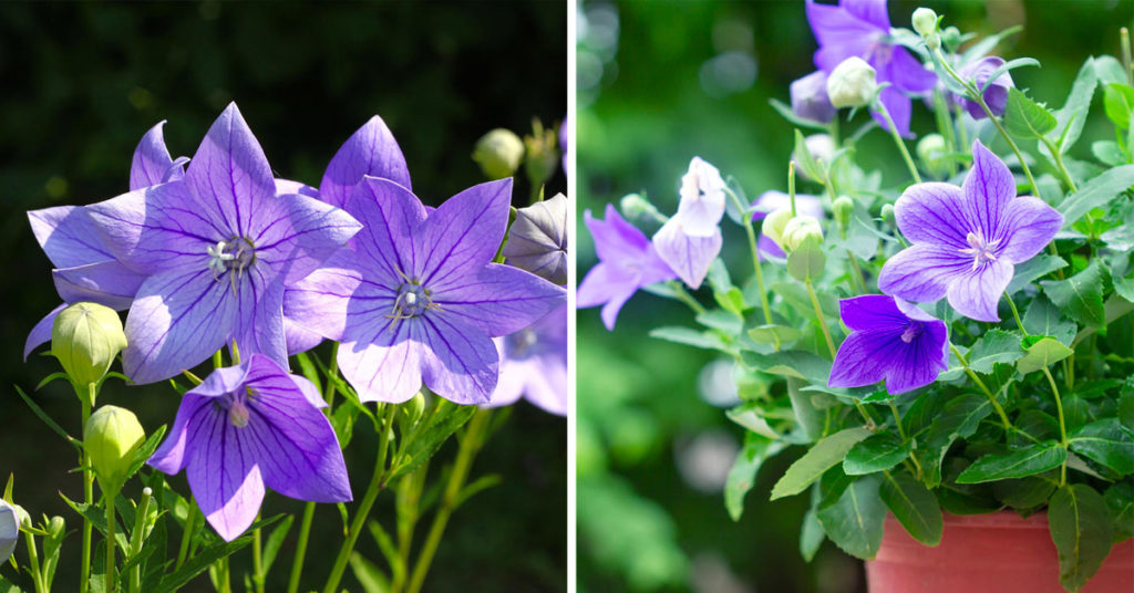 Platycodon fiori.