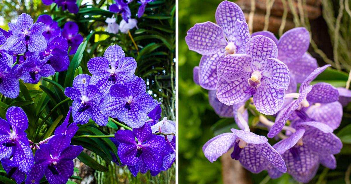Orchidea da esterno Vanda Coerulea.