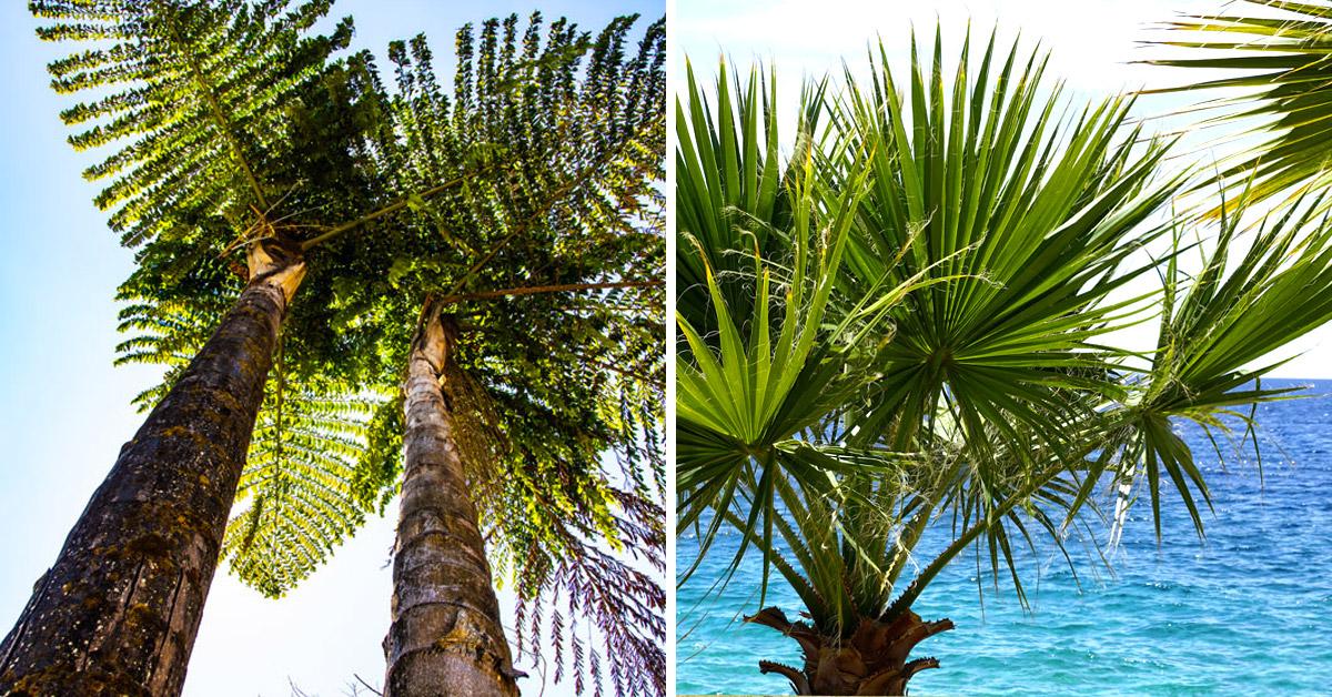 palme più diffuse in Italia